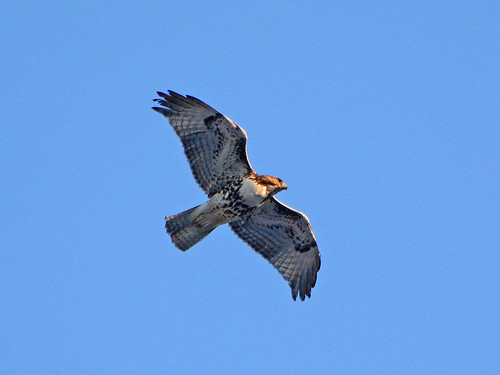 Red-Tail Over Morningside - 5713