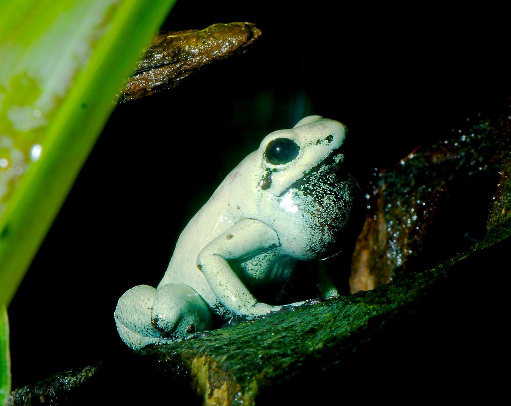Golden Poison Frog (Phyllobates terribilis)_4