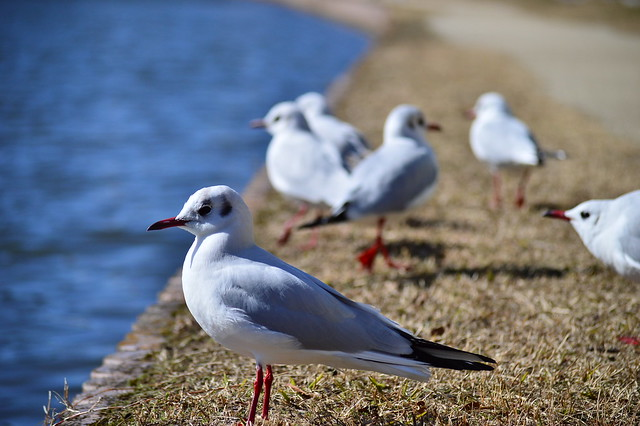 ユリカモメ Black-headed Gull