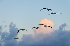 sea(0.0), crane(0.0), animal migration(1.0), animal(1.0), wing(1.0), flock(1.0), gull(1.0), bird migration(1.0), sky(1.0), bird(1.0), flight(1.0), seabird(1.0),