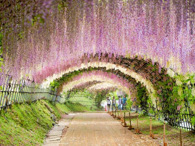 河内藤園(北九州) Kawachi Fuji Gardens in Kitakyushu, Fukuoka, Japan.jpg