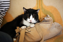 A cat on the handbag