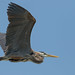 Great Blue Heron Flyby by Ken Krach Photography