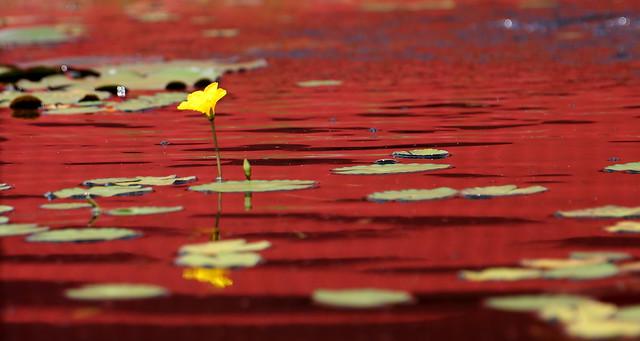 L'histoire de la petite fleur jaune qui adorait le rouge...