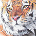 Tiger - Ballpoint Pen Drawing by K. Fairbanks