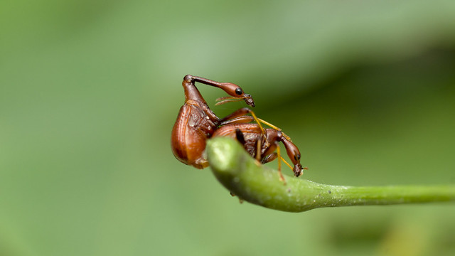 Weevils trying to reproduce
