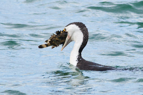 Pied Cormorant with fish