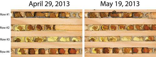 Mason bee development