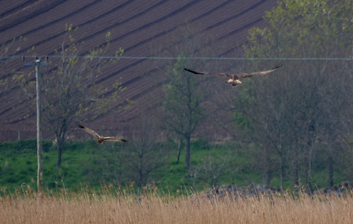 Marsh Harrier & Osprey - Kinnordy Loch