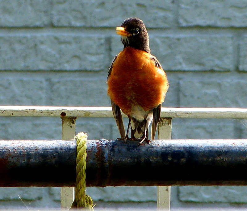 The Chirpy Robin