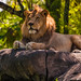 Lion - Kilimanjaro Safaris by wdwphotoclub