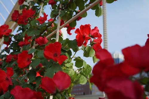 天王寺公園のバラ