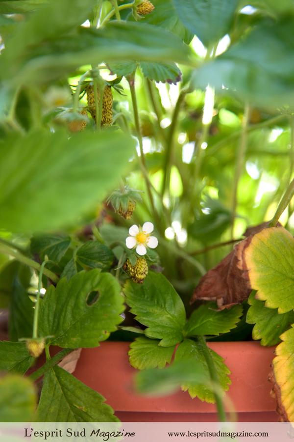 Alpine Strawberries {Fraises des Bois}