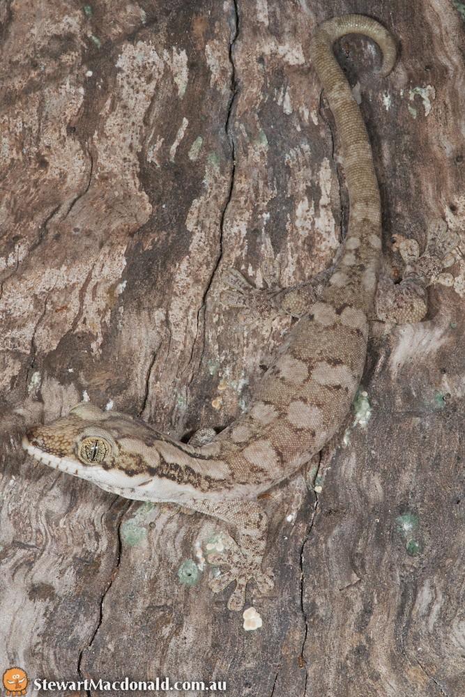 Giant tree gecko (Pseudothecadactylus australis)