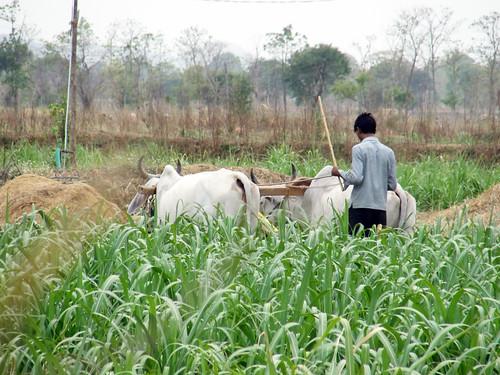 Farmer in Jambhora gram panchayat -the irrigation output of Jhambhora village has improved due to the restoration of the Jambhora Malguzari tank.