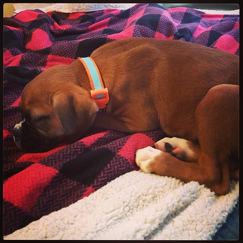 Perk of working from home: conference calls while puppy naps at my feet.