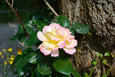 Rose du labyrinthe