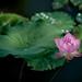 Lotus  荷花 by Jennifer 真泥佛