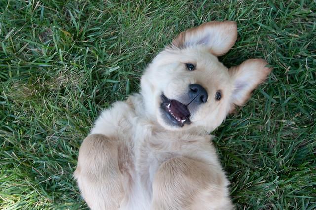 Happy Funny Puppy Golden Retriever