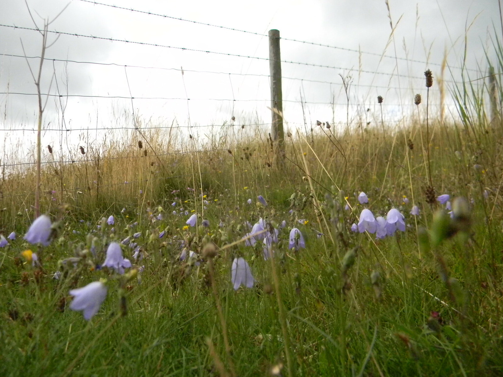 Harebells The climb up to Bledlow ridge Saunderton Circular via Bledlow