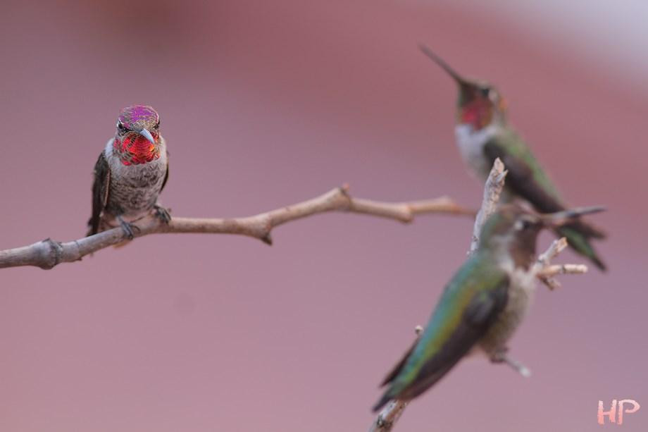 Anna's Hummingbird 082613