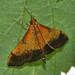 Small photo of Bicolored Pyrausta (Pyrausta bicoloralis)
