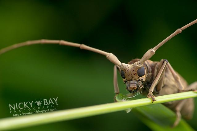 Mangrove Longhorn Beetle (Aeolesthes holosericeus) - DSC_3534