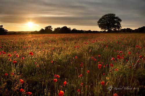 landscape surrey poppies send poppyfield