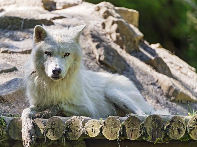 Wolf lying on back - photo#21