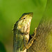 Small photo of Agamid
