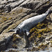 Common Seal (Marcus John)