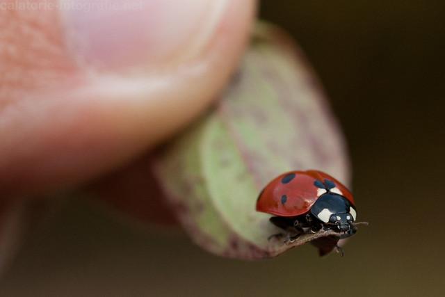 Frumusețea de la un pas de noi - în natură cu Nikon 60 mm Micro f/2,8 AF-D 10501710483_4eeae5c551_z