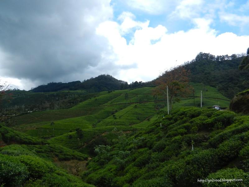 Чайные плантации Цейлона