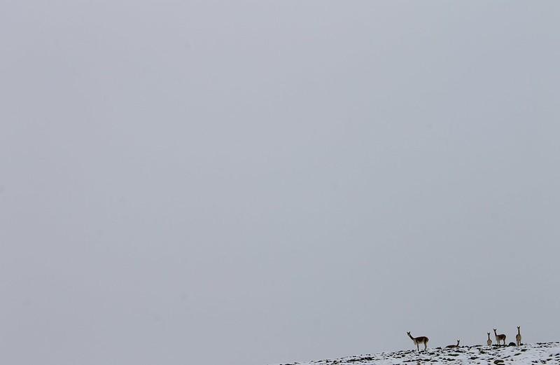 Vicuñas in Huancavelica