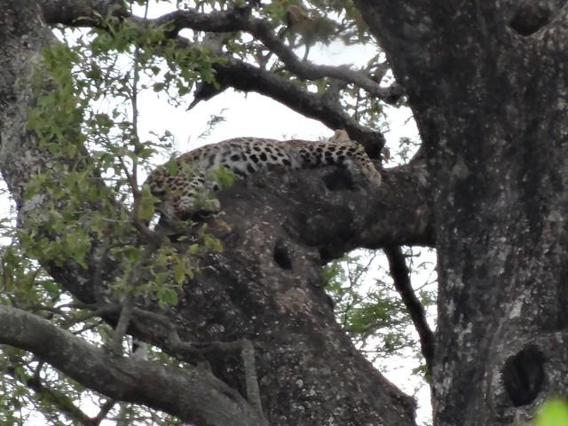 Leopardo, Kruger
