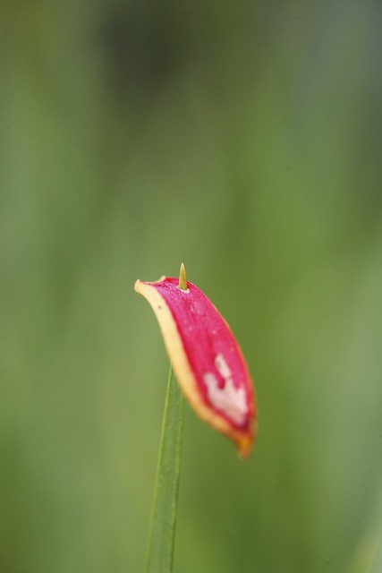 Skewered (petal on long grass)