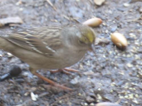 Golden-crowned sparrow, Silverado, CA