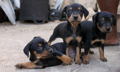 german pinscher(0.0), dobermann(0.0), black and tan coonhound(0.0), dog breed(1.0), animal(1.0), dog(1.0), huntaway(1.0), manchester terrier(1.0), pet(1.0), hellenikos ichnilatis(1.0), transylvanian hound(1.0), austrian black and tan hound(1.0), polish hunting dog(1.0), carnivoran(1.0),