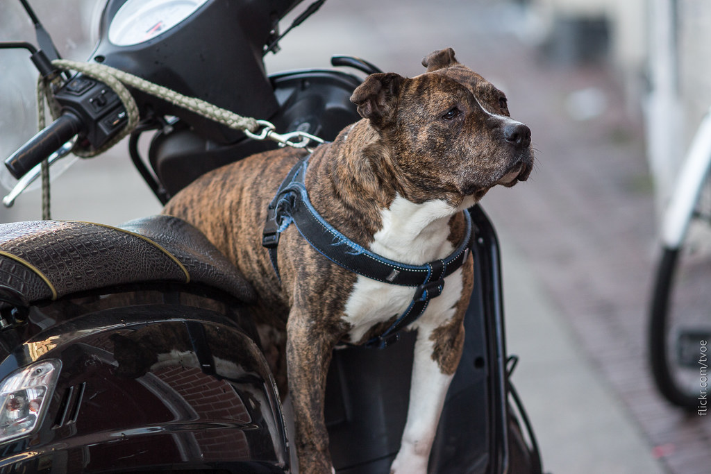 Собака и скутер в Амстердаме