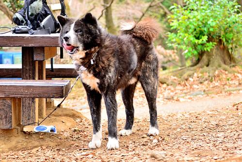 Akita Dog, Taro in The Park / 秋田犬タローは公園に