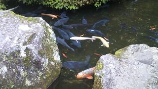 箱根神社・鯉