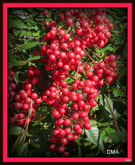Nandina from our yard, winter