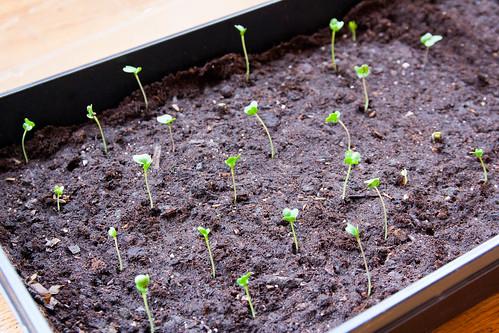 23broccoli.jpg