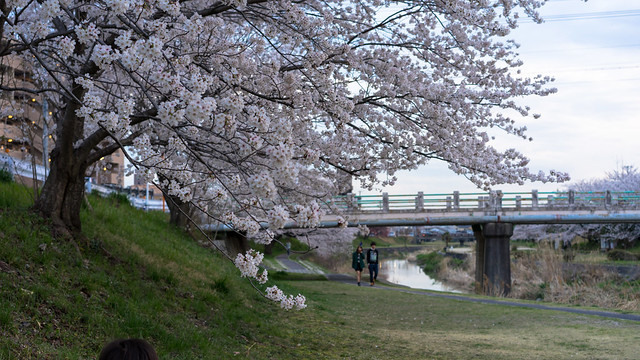 CherryBlossoms_04