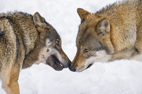 Wolves nose to nose