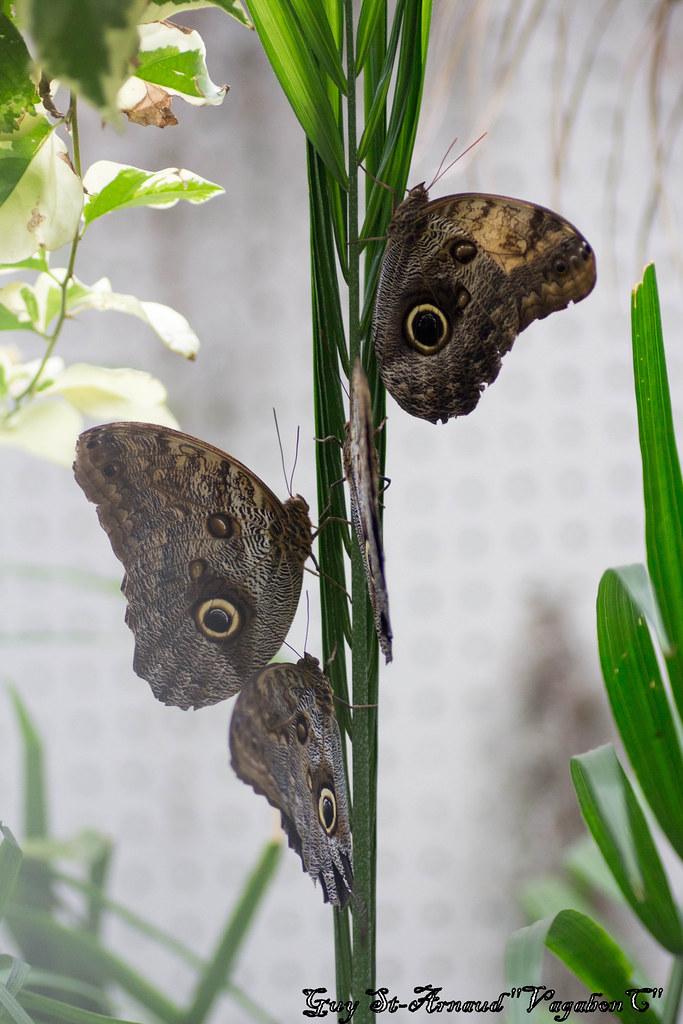 Papillons  13643719305_c7cb48cc6d_b