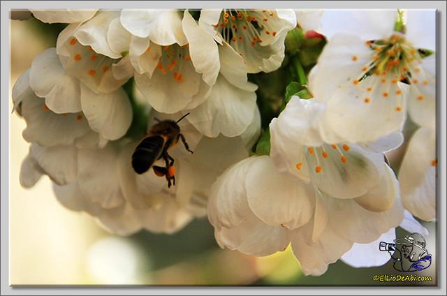 9 Valle de Caderechas Floración de los cerezos