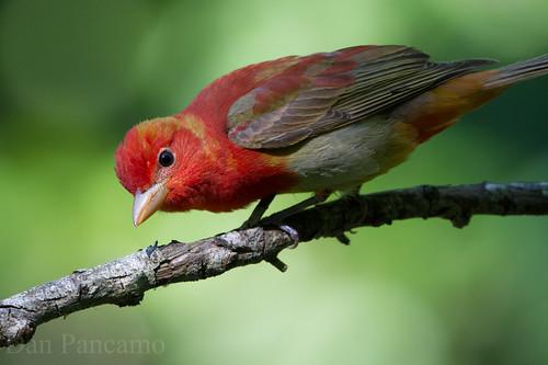 Summer Tanager - LaffIte's COVE Spring 2014