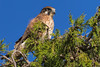 Brown Falcon 2014-04-18 (_MG_4067)