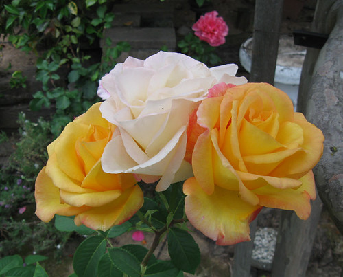 Yellow rose 2014